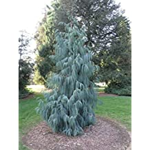 Kashmir Cypress, Cupressus cashmeriana, Tree 30 Seeds (Weeping Fragrant Evergreen)