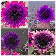 20pcs/ bag Rare Purple Sunflower Seeds Bonsai Charming Annuus Helianthus Potted Garden Flower Plant for Home Garden Planting