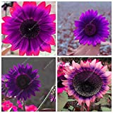 #6: 20pcs/ bag Rare Purple Sunflower Seeds Bonsai Charming Annuus Helianthus Potted Garden Flower Plant for Home Garden Planting