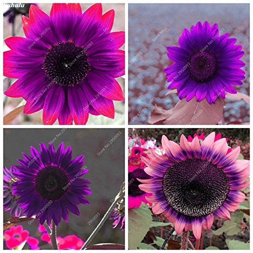 Price comparison product image 20pcs/ bag Rare Purple Sunflower Seeds Bonsai Charming Annuus Helianthus Potted Garden Flower Plant for Home Garden Planting