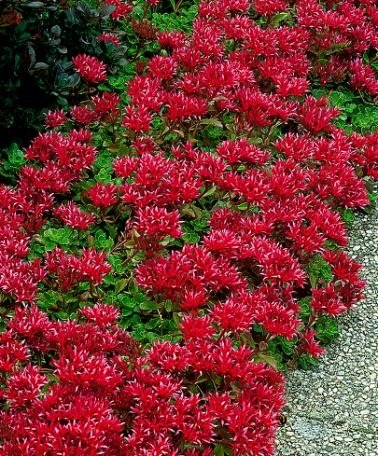 SEDUM-Creeping Red/Dragons Blood