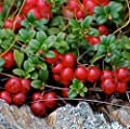 Mountain Cranberry 50 seeds Vaccinium Vitis-idaea Wild Fruit Edible Comb I62