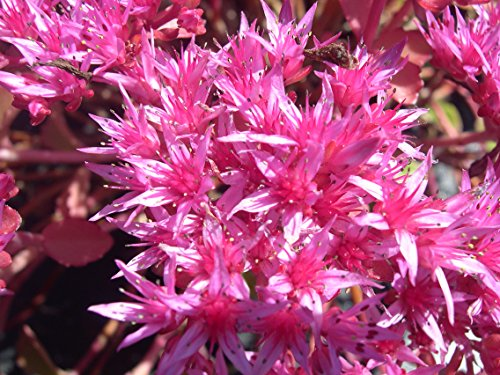 SEDUM DRAGON'S BLOOD Sedum Spurium - 100 Seeds