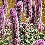 PTILOTUS rotundifolius Pink Candles Seeds (N 366)