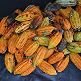Shuohu 40 Cocoa Fruit Seeds Tree Germination Fresh Home Garden Plant Brand New