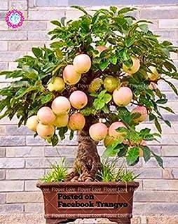Semillas 30PCS Bonsai árbol enano semillas de árboles super dulce fruta orgánica Planta de interior Planta