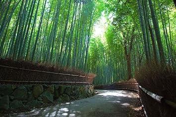 Ungarischer Riesenbambus Bambus Pubescens Wachst 30 50 Cm Pro Tag