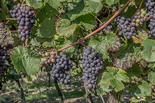 Harvest Vineyard (Home Comforts Laminated Poster Vines Wine Harvest Vintage Vineyard Wine Grapes Poster 24x16 Adhesive Decal)