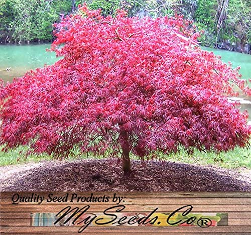 Amazon Com Red Lace Leaf Japanese Maple Acer Palmatum