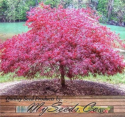 Amazoncom Red Lace Leaf Japanese Maple Acer Palmatum Matsumurae