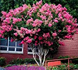 Pink Velour Crape Myrtle Tree - Live Plant - Trade Gallon Pot