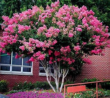 Amazon Pink Velour Crape Myrtle Tree Live Plant Trade