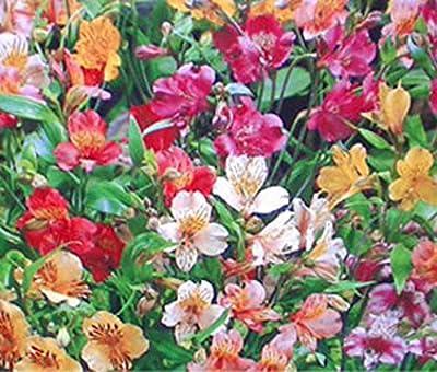 Brand New! 2017 PERUVIAN LILY Alstroemeria Ligtu Bulk Flower Seeds