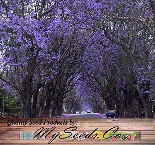 big-pack-paulownia-elongata-tree-seeds-5000-aka-empress-tree-very-large-leaves-shade-tolerant-non-gm