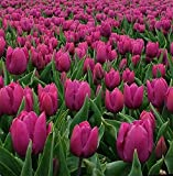 Purple Prince 25 Tulip Bulbs - Early Blooming! 12/+cm Bulbs