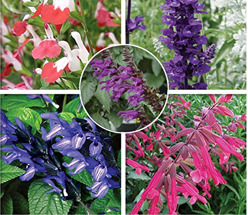 (Solution Seeds Farm New Rare Hierloom Imported Mixed 5 Typed of Salvia with tubular flowers, Professional Pack, 20 Seeds, deep purple black blue pink purple)