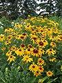 4000 GLORIOSA DAISY INDIAN SUMMER Rudbeckia Hirta Flower Seeds