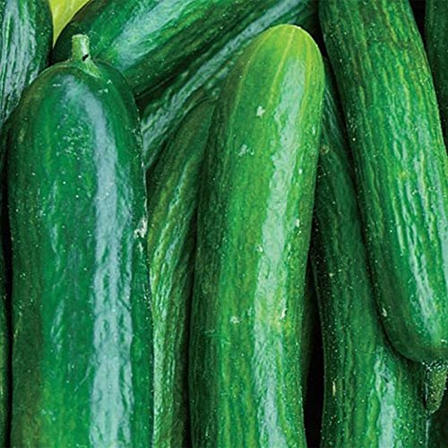 Perseus Hybrid Cucumber Seeds - Bitter-free, Almost Seedless ()