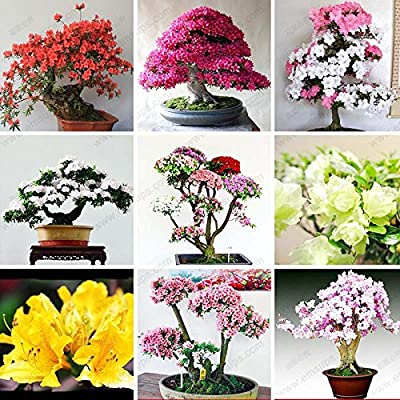100 Pcs/bag Rare Bonsai 12 Varieties Azalea Seeds DIY Home & Garden Plants Looks Like Sakura Japanese Cherry Blooms Flower Seeds