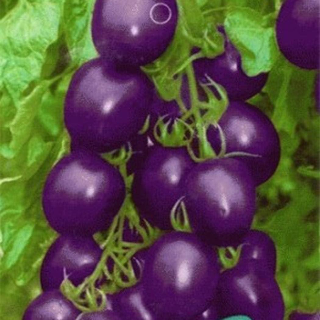 FastDirect Semillas de Tomate Morado 50 PCS Semillas de Verduras ...