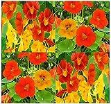 BIG PACK - NASTURTIUM Flower Seed Mix (1,000) - Edible Tropaeolum nanun - Spurred, flat-faced trumpet - USED IN CAKE & BAKERY - Flower Seeds By MySeeds.Co (BIG PACK - Nasturtium Mix)