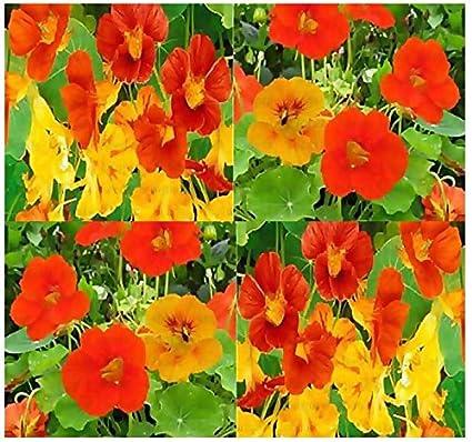 Amazoncom Nasturtium Flower Seeds Edible Tropaeolum Nanun