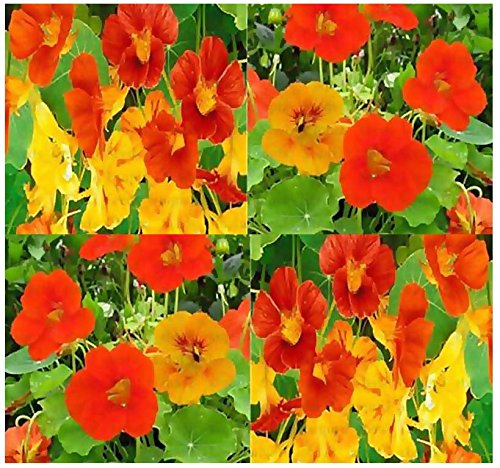- BIG PACK - NASTURTIUM Flower Seed Mix (1,000) - Edible Tropaeolum nanun - Spurred, flat-faced trumpet - USED IN CAKE & BAKERY - Flower Seeds By MySeeds.Co (BIG PACK - Nasturtium Mix)