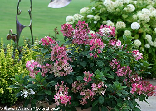 Little Quick Fire Hardy Hydrangea (Paniculata) Live Shrub, White to Pink Flowers, 1 Gallon by Proven Winners (Image #8)