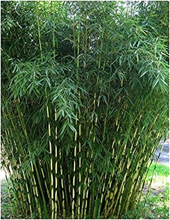 Blumen Senf Horstbildender Fargesia Robusta Campbell Bambus 30 50