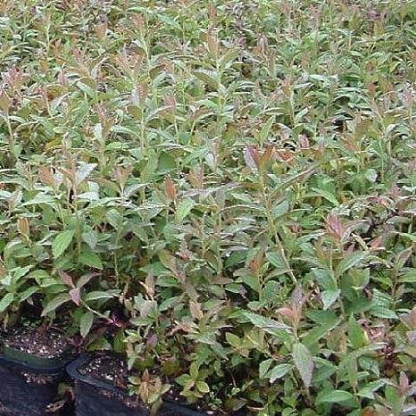 Amazon.com : Spirea 'Anthony Waterer' - Size: 1 Gallon (Spiraea x bumalda 'Anthony Waterer') : Shrub Plants : Garden & Outdoor