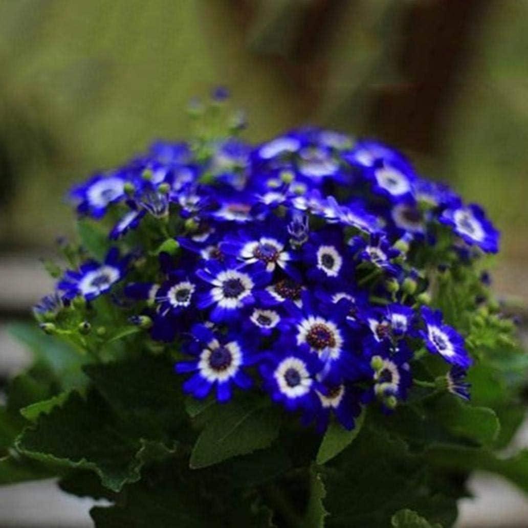 Uticon 300pcs Raras Semillas Azules Bellis Perennis Yarda Del Jard¨ªN De Flor De Bonsai Balc¨®N Decoraci¨®N - Bellis Perennis Semillas