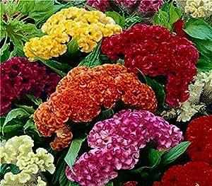 100 PCS / bolso colorido Pteris Cockscomb casera de las Plantas en maceta bonsai DIY regalo de semillas de plantas muy fácil Semillas de Flores. Venta
