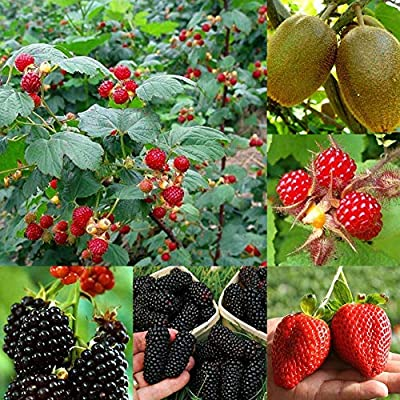 Plant Seeds for Planting 100Pcs Rare Raspberry/BlackBerry/Strawberry/Kiwi Seeds Nutritious Fruits Bonsai : Garden & Outdoor