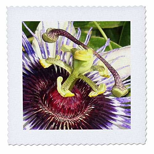 - 3dRose qs_46810_1 Clock Plant Passion Flower, Purple, Nature, Passiflora, Wildflower of Tennessee, Christs Thorn Quilt Square, 10 by 10-Inch