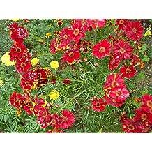 Coreopsis- Red Dwarf- 200 Seeds