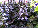 "AJUGA - Black Scallop - Multi Color - 2 Plants - 3"" POTS"