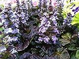 """AJUGA - BLACK SCALLOP - MULTI COLOR - 2 PLANTS - 3"""" POTS"""