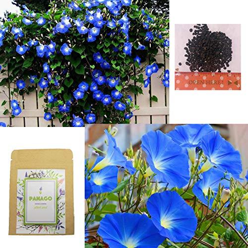500+ Heavenly Blue Morning Glory Seeds for Garden Planting, Light Blue Non-GMO Climbing Vines/Flower Seeds by LeeFan Garden