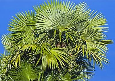 Trachycarpus Fortunei Palm Tree, 100 Seeds, Hardy Fan Palm Zone 6-11