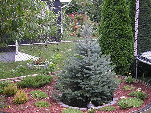 Live Christmas Trees - 1 COLORADO BLUE SPRUCE TREE2 FT EVERGREEN LIVE CHRISTMAS TREE SEEDLINGS