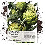 Package of 30 Seeds, Green Globe Artichoke (Cynaria scolymus) Non-GMO Seeds By Seed Needs