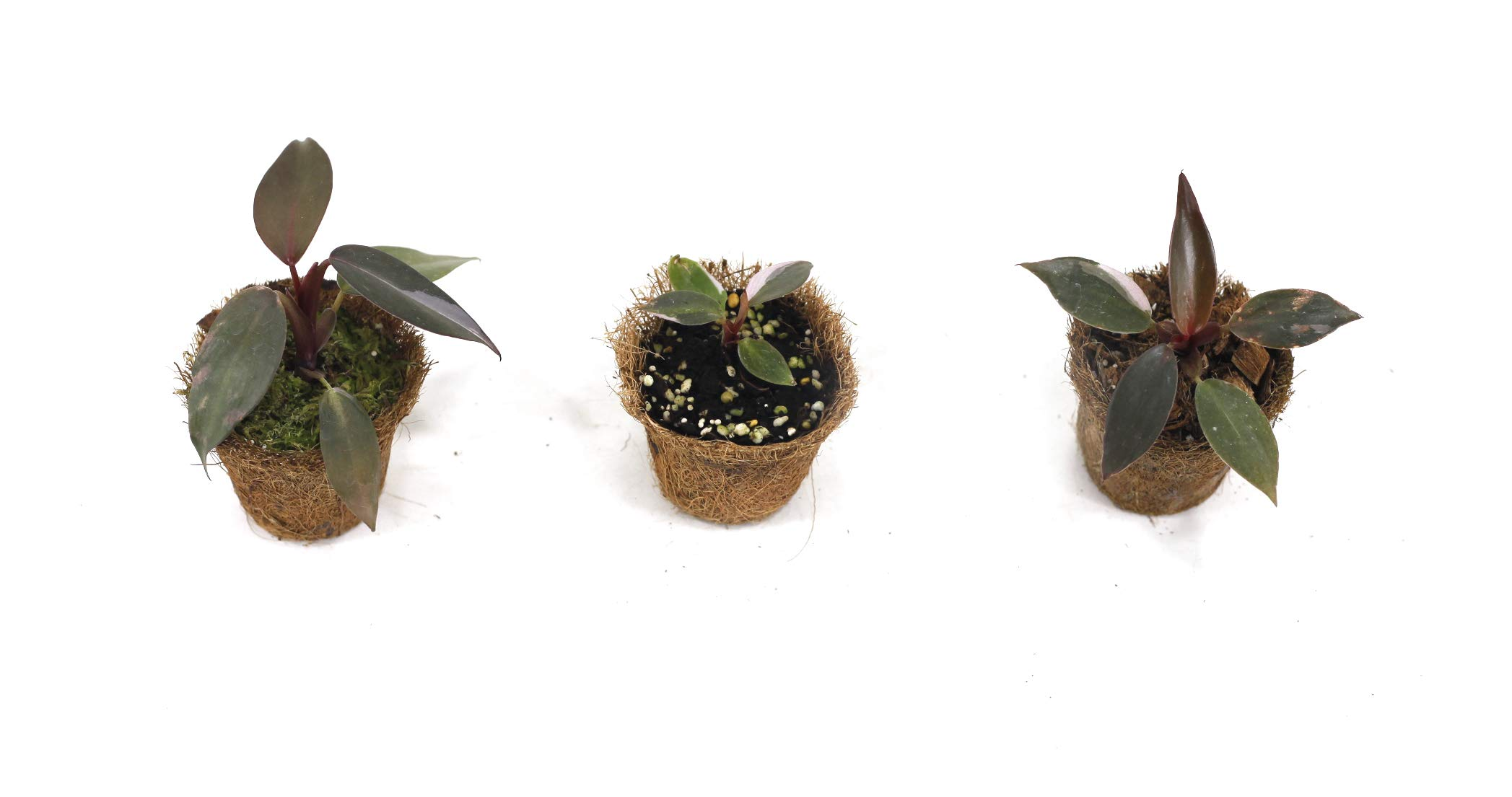 Philodendron Pink Princess Young Plant Trio Set by Joinflower Joinfolia (Image #2)