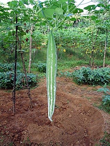 Asian Heirloom Snake Gourd (BUAG NGU) Seeds by - Snake Gourd Plant
