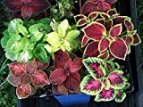Coleus - 500 Seeds - Organically Grown - NON-GMO