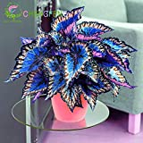100pcs Janpanse Bonsai Coleus Seeds Foliage Plants Perfect Color Rainbow Dragon Seeds Beautiful Flower Plant Garden Semente Red