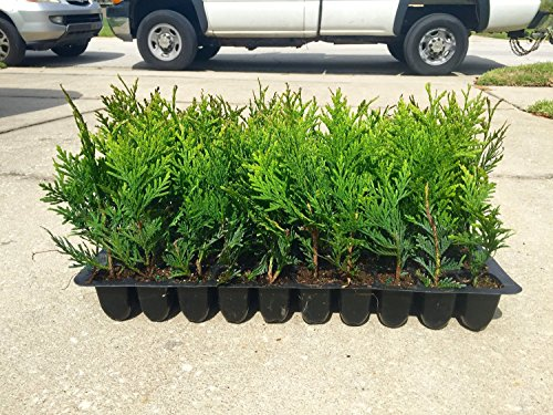 thuja-green-giant-arborvitae-qty-20-live-trees-evergreen-privacy