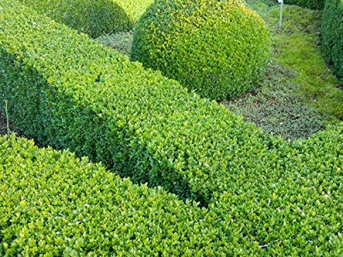 100 x Pflanzen Heckenpflanzen Buchsbaum Buxus sempervirens Gesamthöhe je 30-40 cm.
