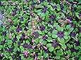 100 / Día bolsa de trébol de cuatro hojas Crezca su propia suerte para las semillas de césped para Jardin ver New semillas de la hierba en forma de Hear-Tiesto plantadores