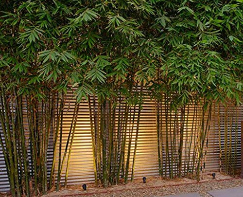 Graceful Bamboo - Slender Weavers - Textilis Gracilis - Live Plant - Fast Growing Evergreen Privacy Hedge by Florida Foliage (Image #6)