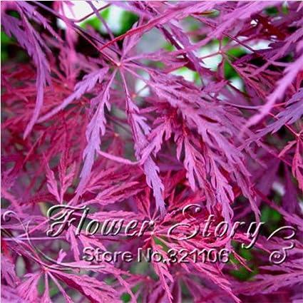 Buy Generic 20 Pcs/Lot Crimson Queen Japanese Maple Seed
